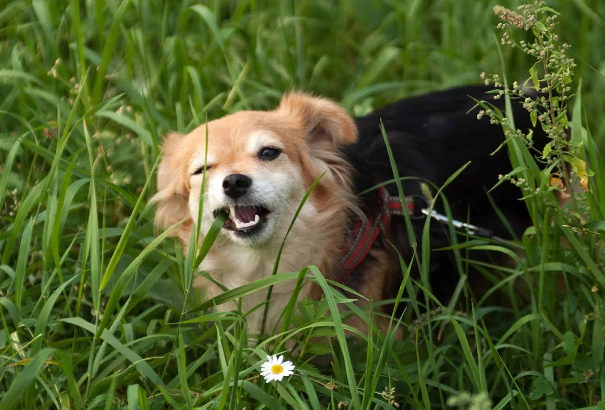 dog eats grass