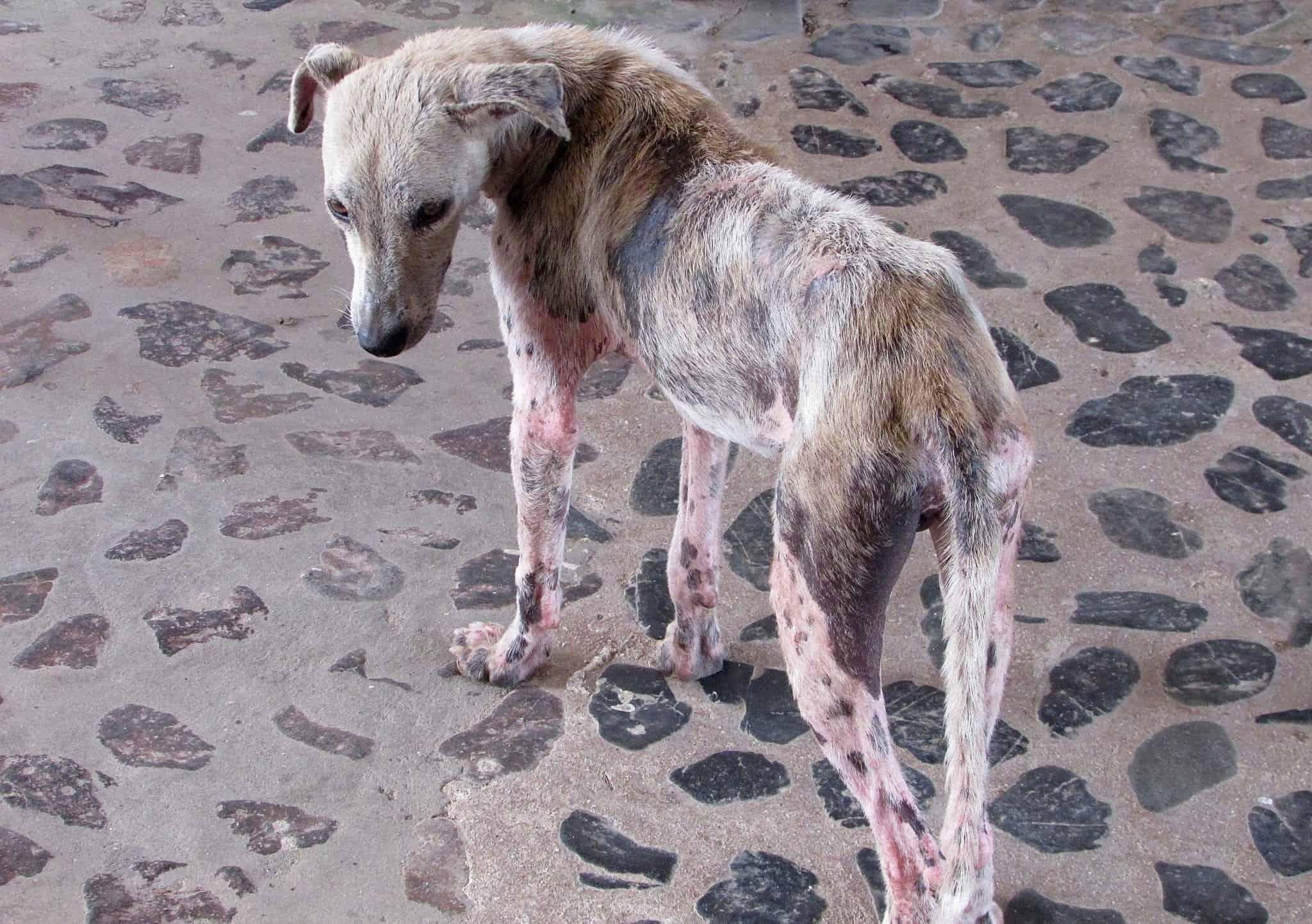 Canva Dog with mange scaled