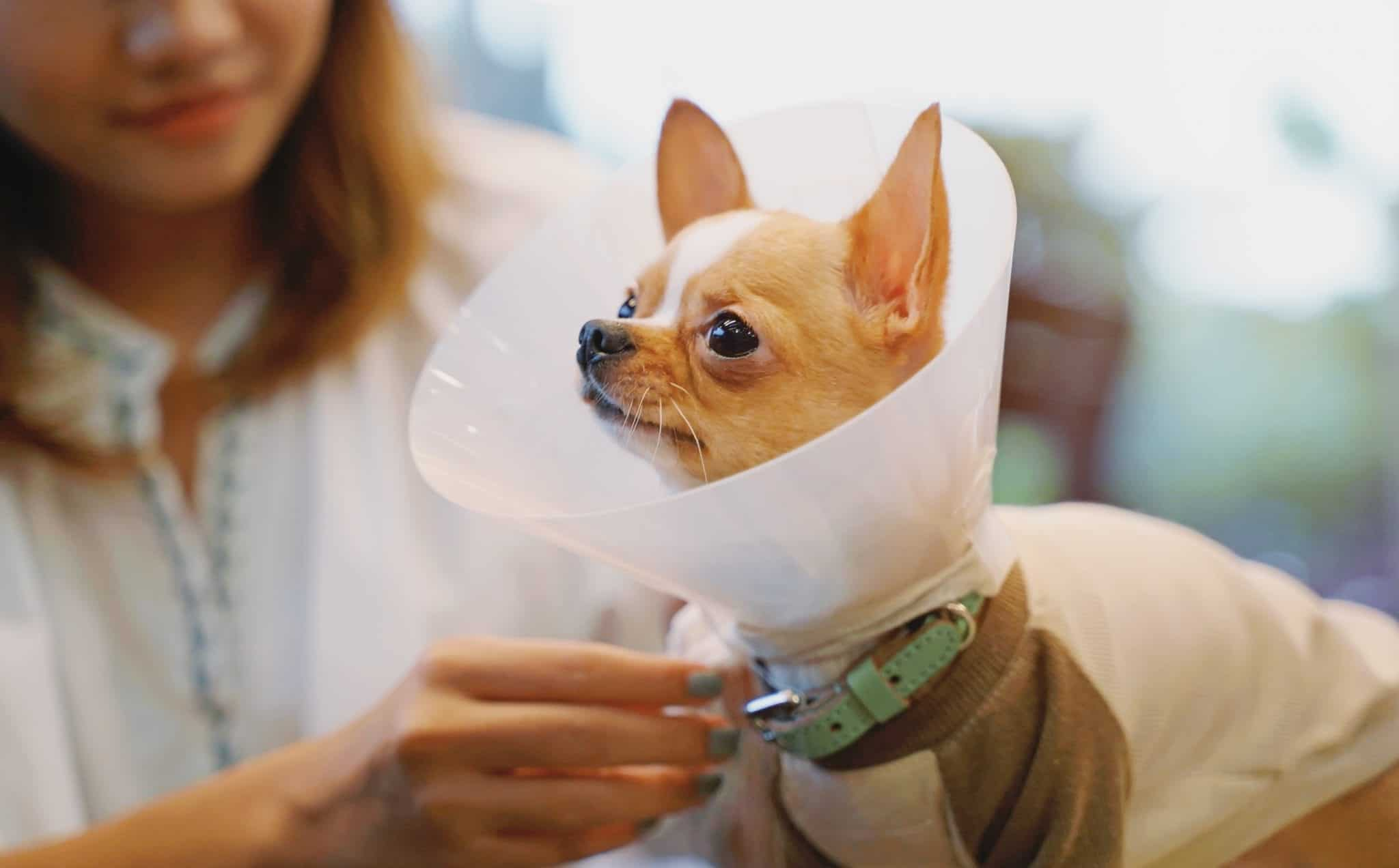 Canva Young Asian Woman Wearing Collar Cone for Her Chihuahua Dog for scaled