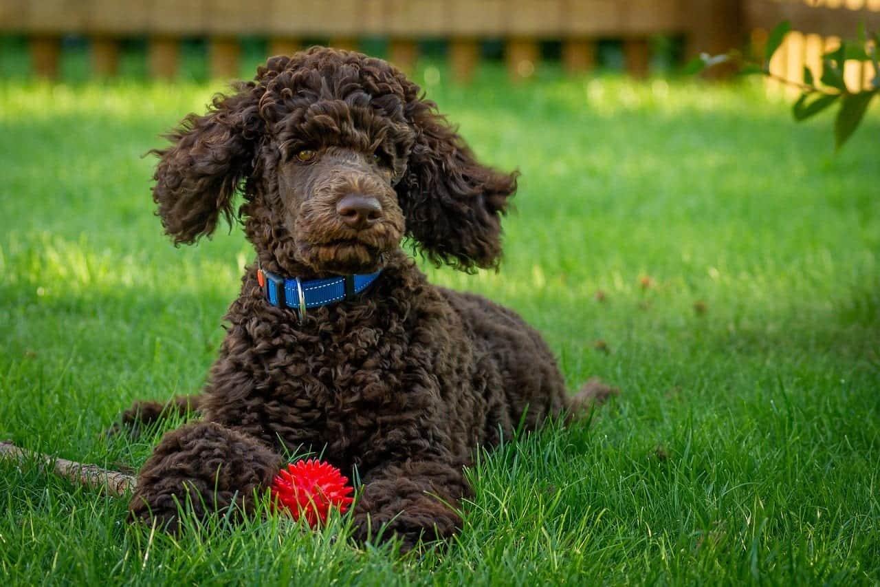 hypoallergenic dog breeds