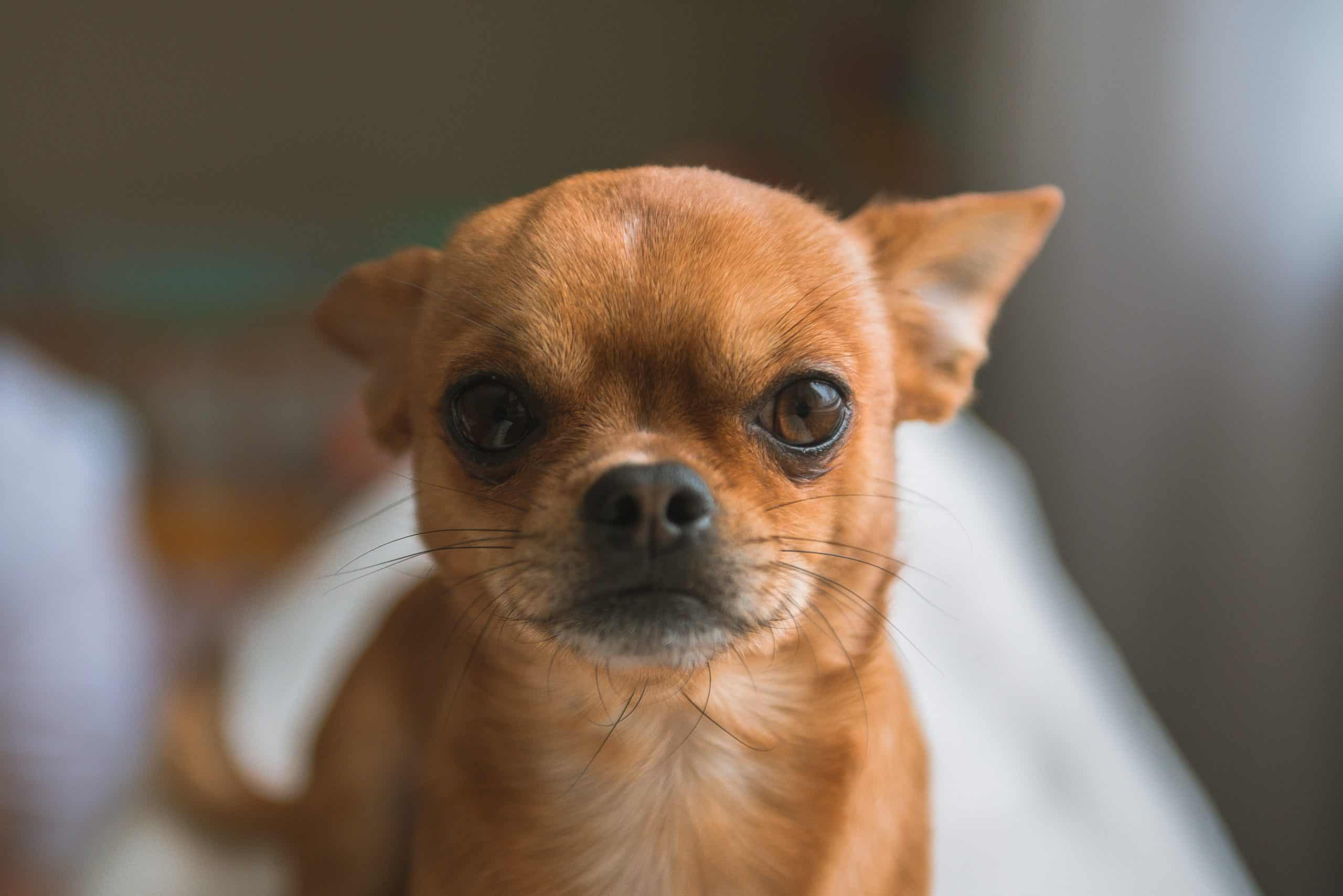 facts about Chihuahuas