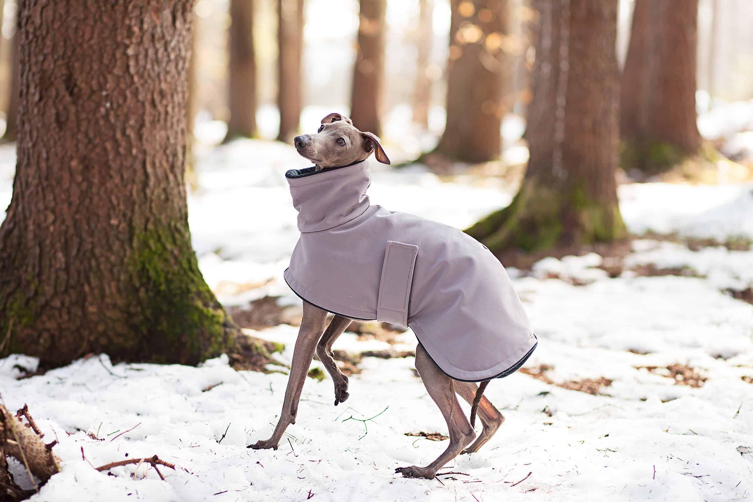 Canva Dressed Greyhound scaled