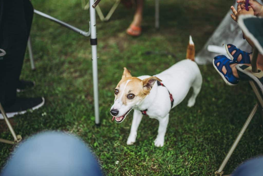 Canva Jack Russell Terrier playing outdoors