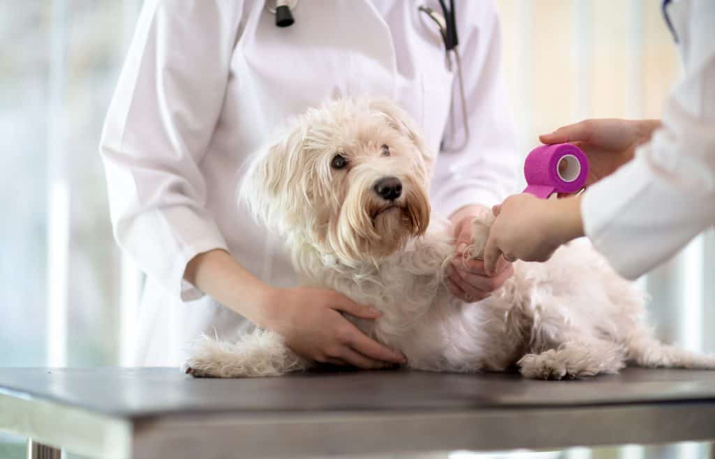Sad little Maltese dog with broken paw in vet infirmary