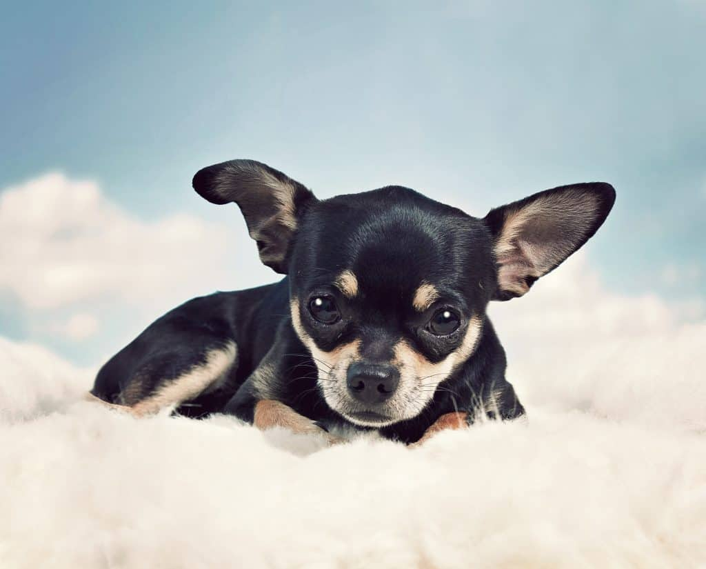 chihuahua longest lifespan dog breeds
