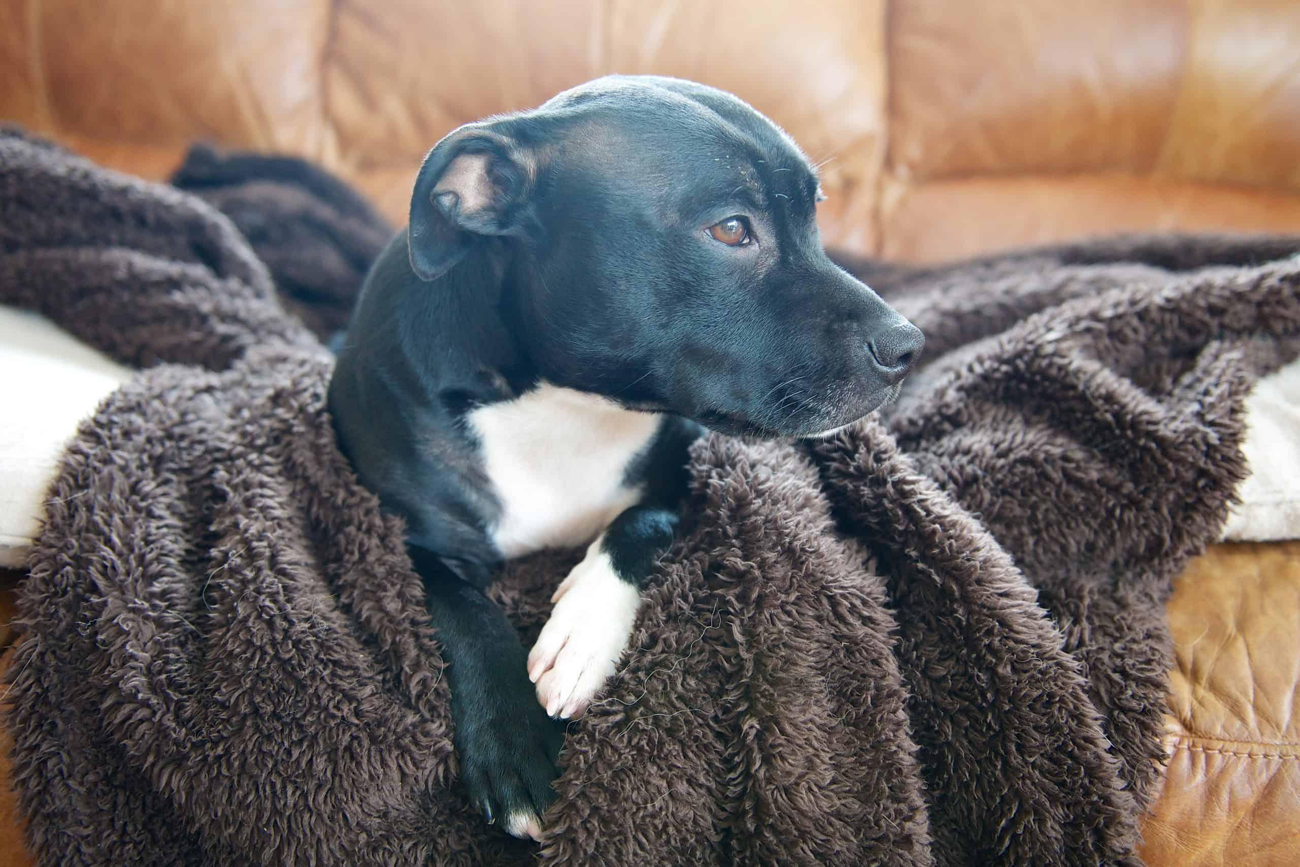dog sucks on blankets