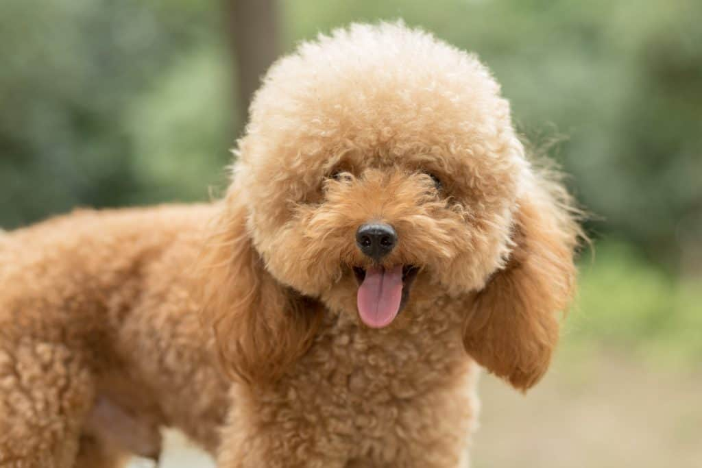 Toy Poodle On Grassy Field. dogs with longest lifespans