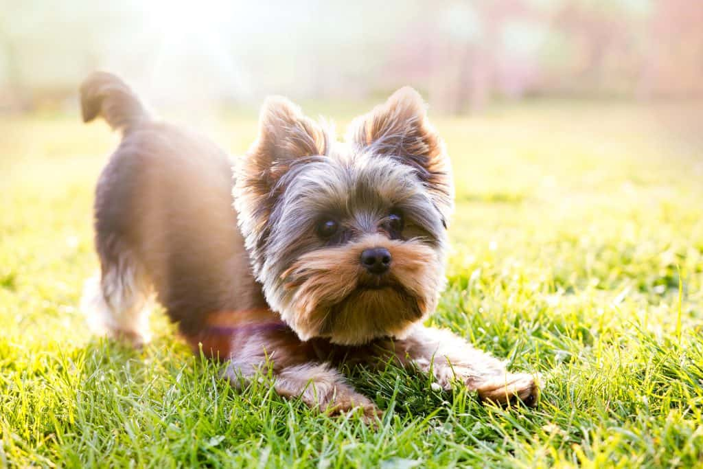 Yorkshire Terrier longest lifespans dog breeds