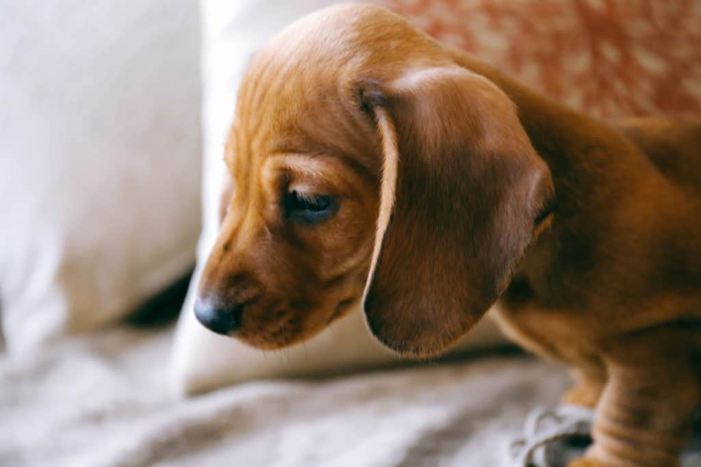 Canva - 8 weeks old smooth brown dachshund puppy on a sofa inside the apartment.