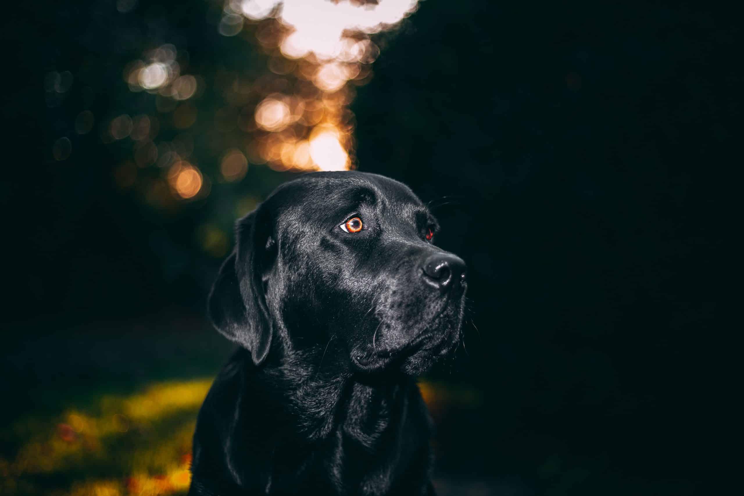 Canva Black Dog scaled