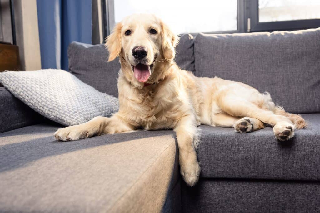 Canva Cute golden retriever dog lying on sofa indoors