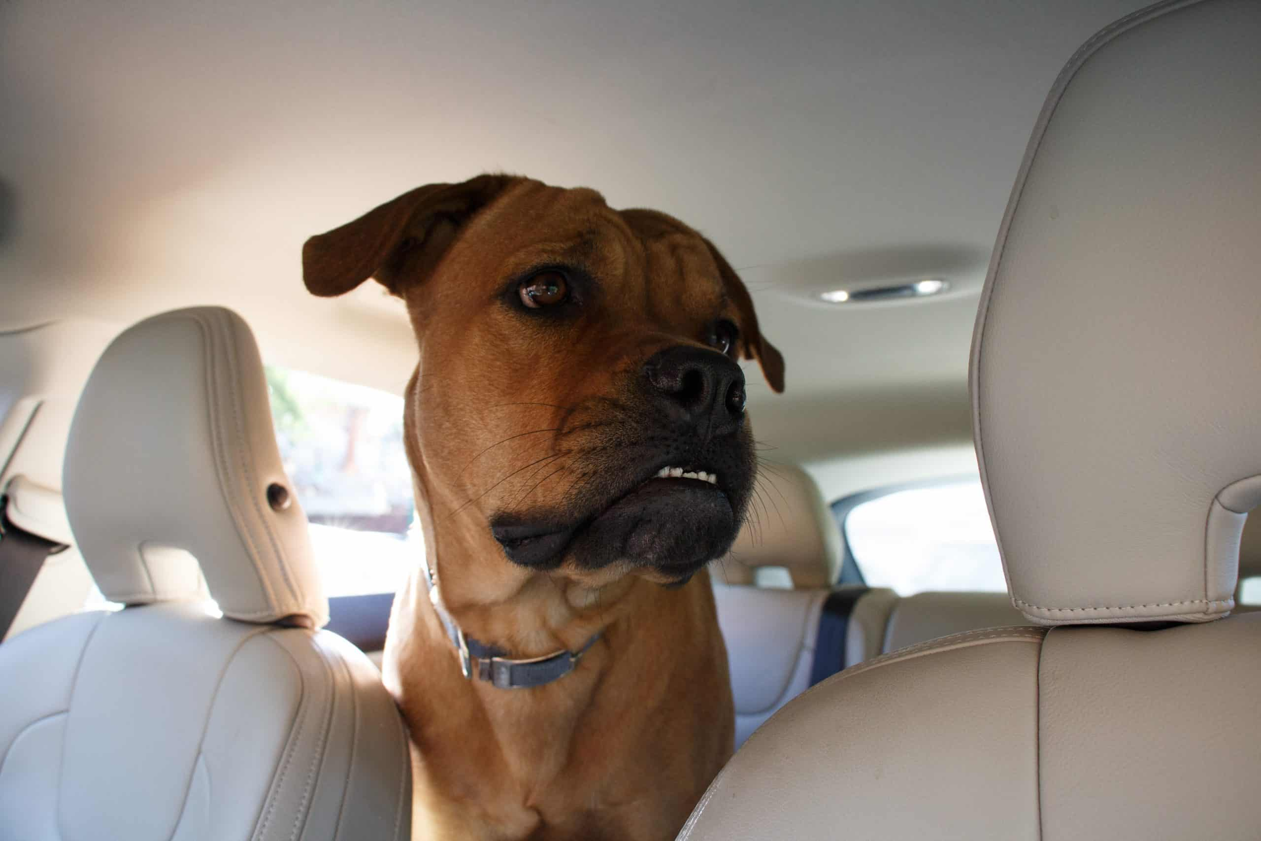 Canva Interested dog driving in back end of a car scaled