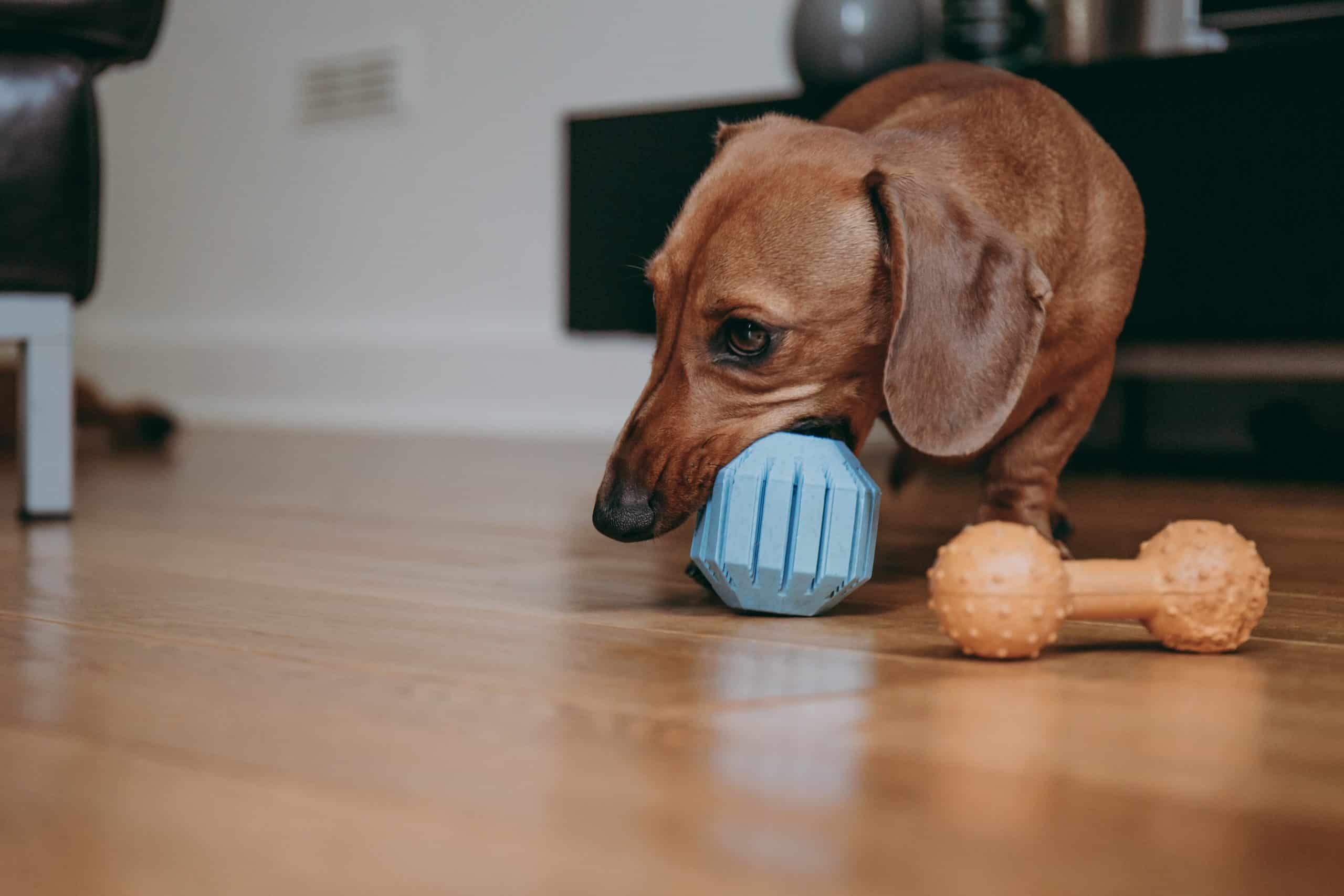 indoor activity for dogs