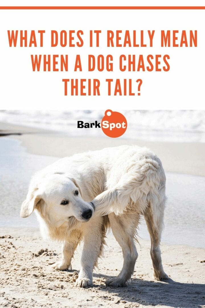 What does it mean when a dog chases their tail pin