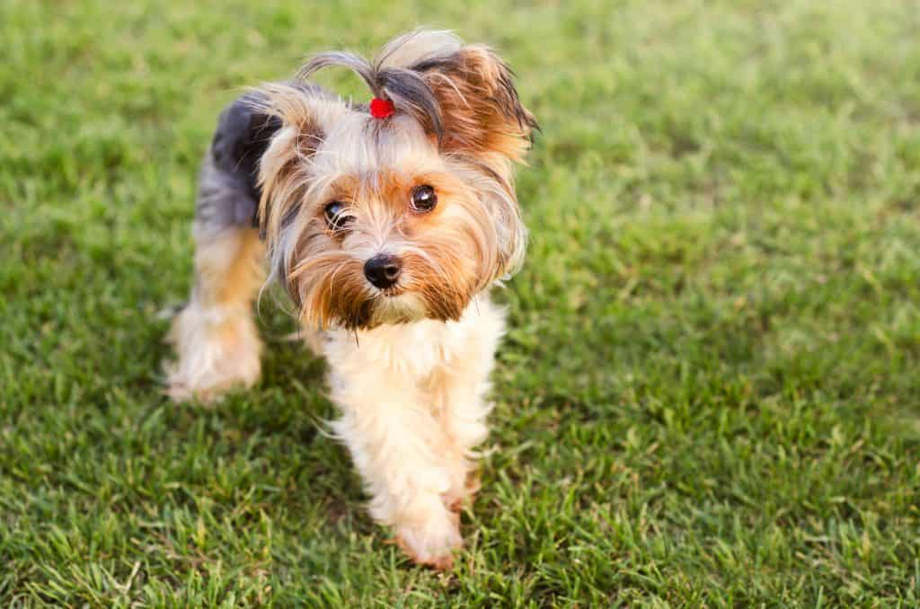 Canva Cute Yorkshire terrier