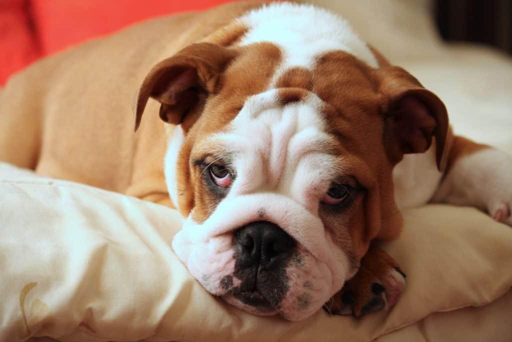 calm dog breed