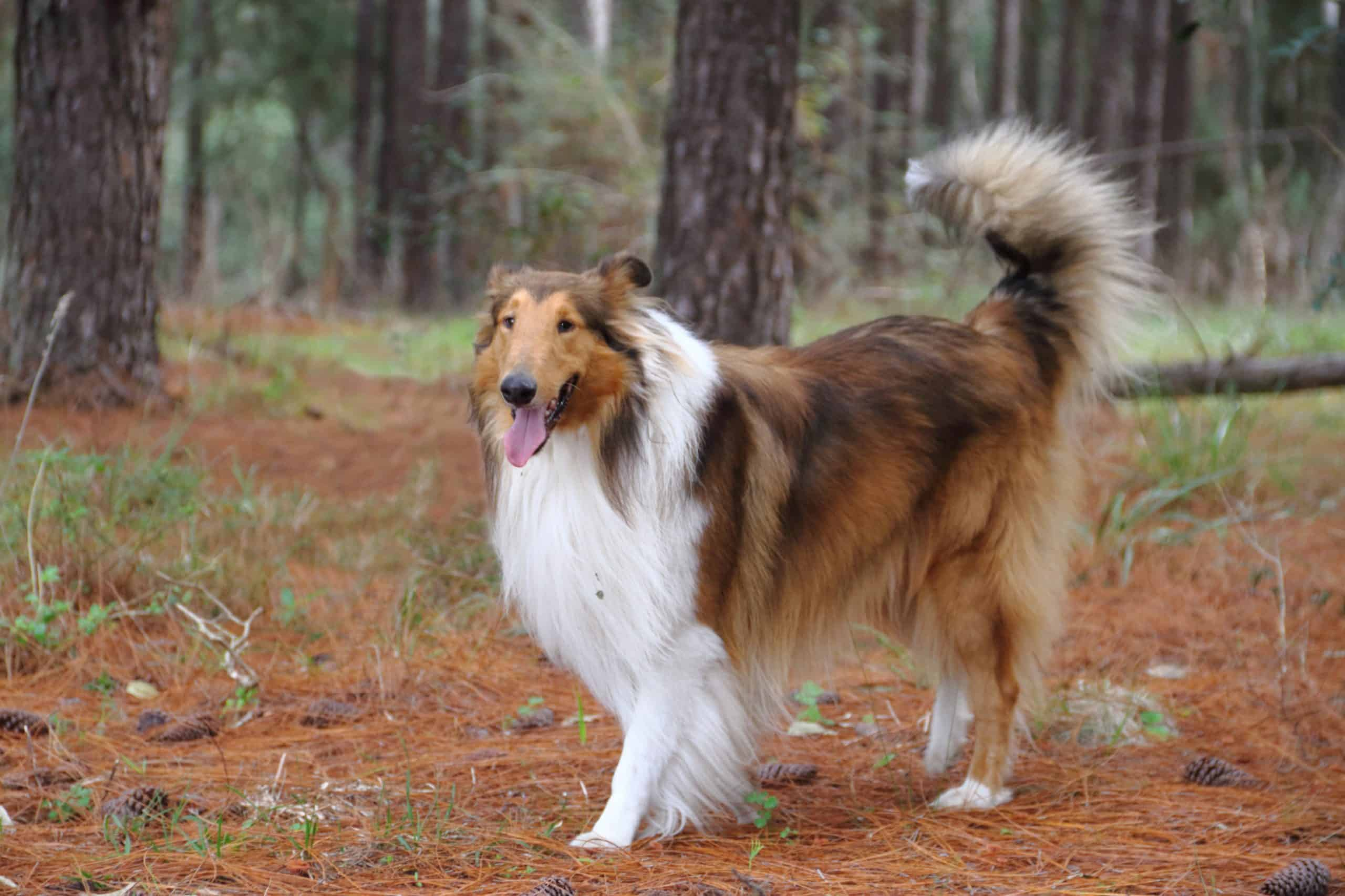 loyal dog breeds