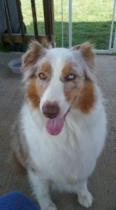 This is Baby, our Australian shepherd