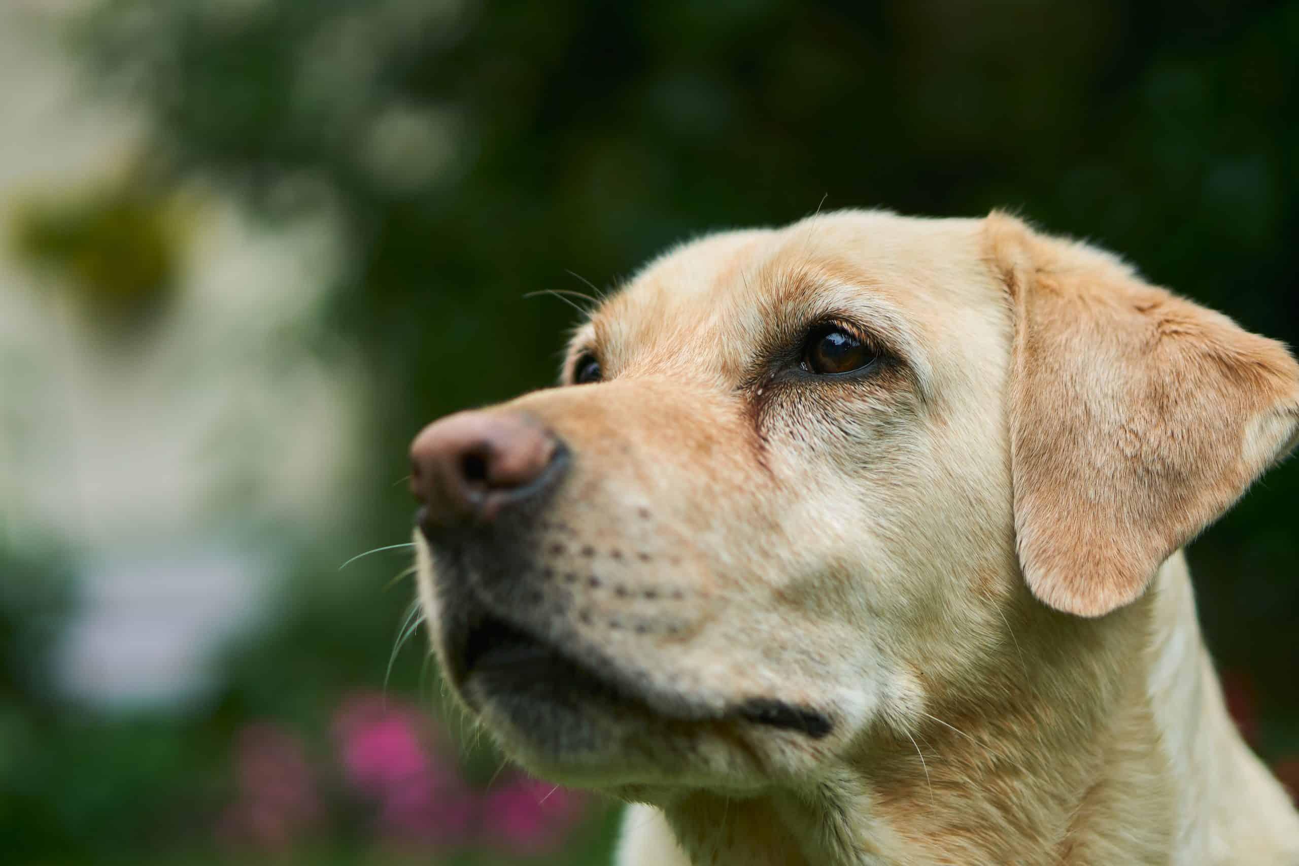 Canva Adult Labrador Retriever scaled