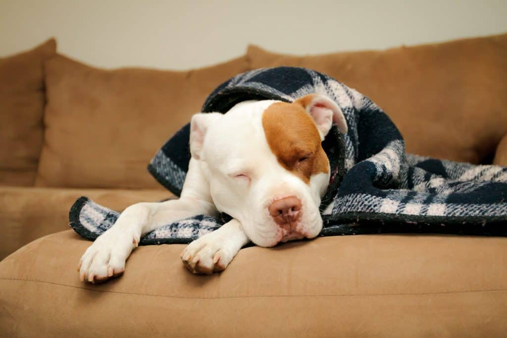 Canva Dog sleeping on the couch