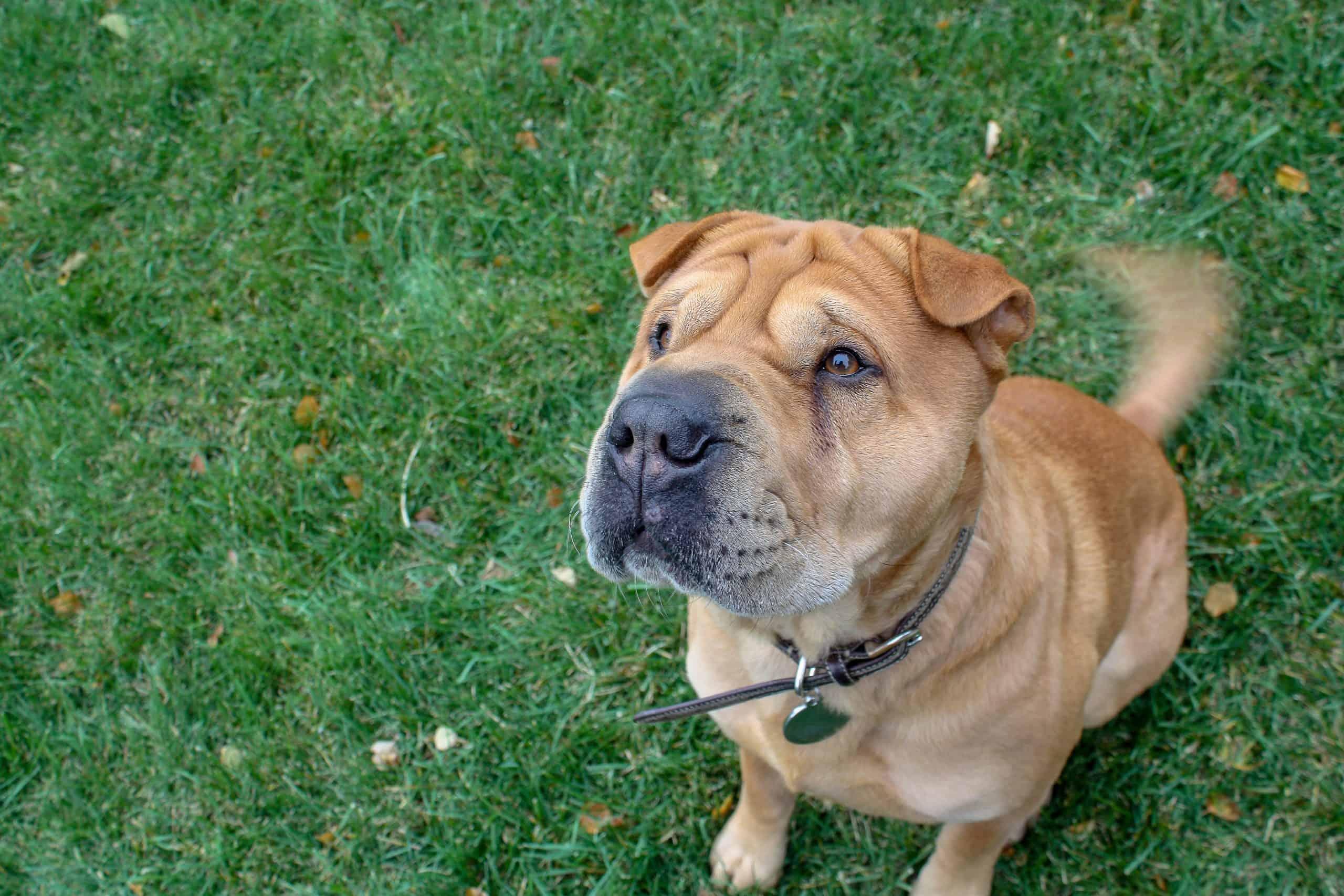 stubborn dog breed