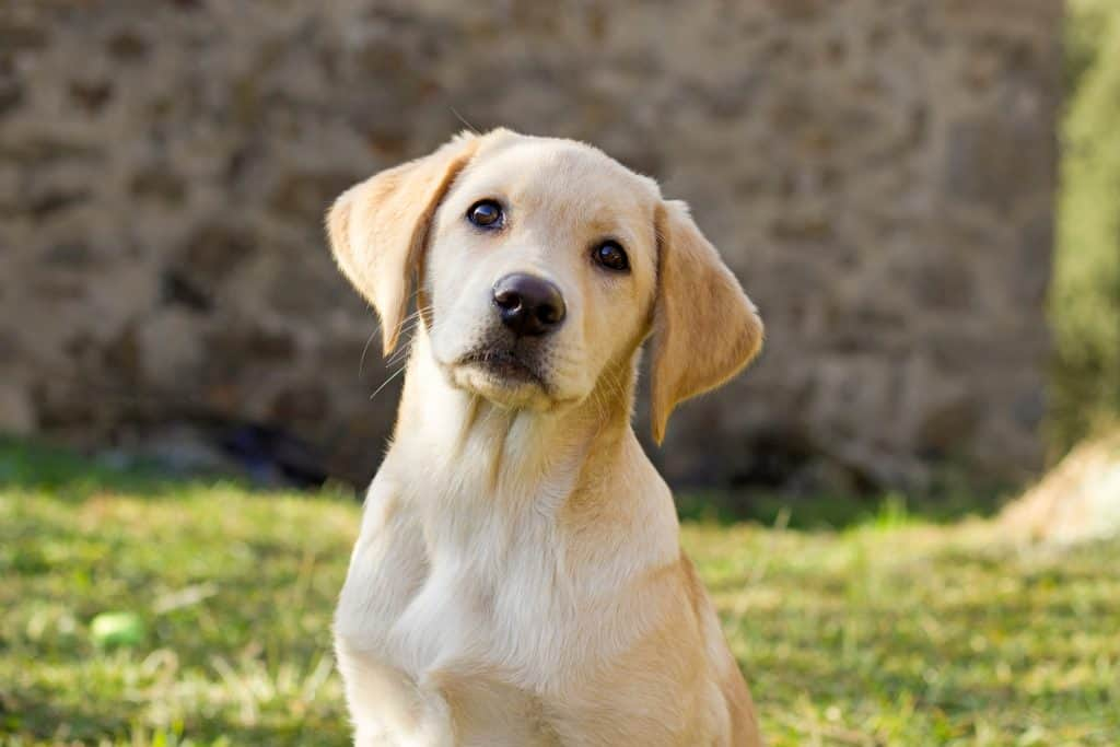 Canva Labrador retriever puppy in the yard 1