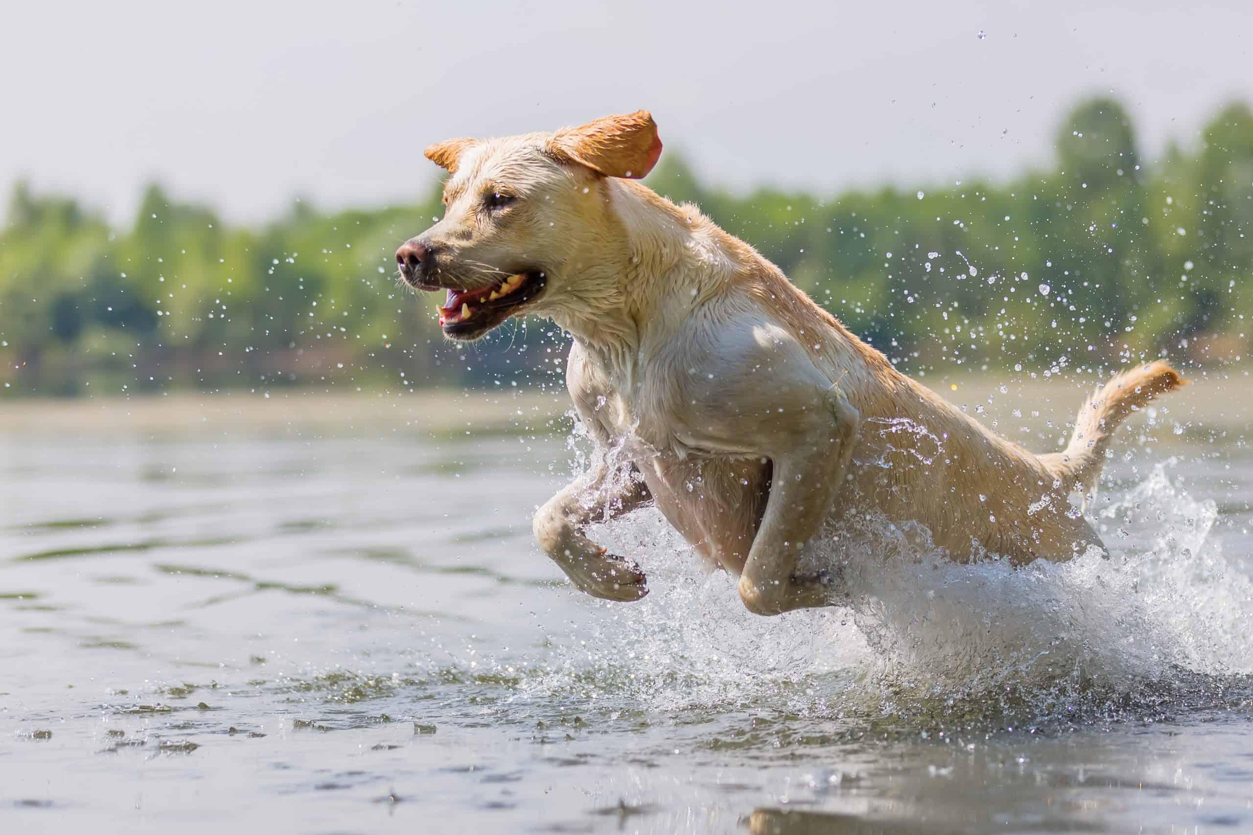 most popular dog breed