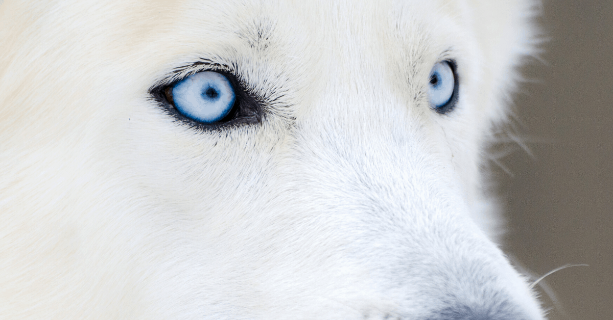 6 Dog Breeds With The Prettiest Blue Eyes Barkspot