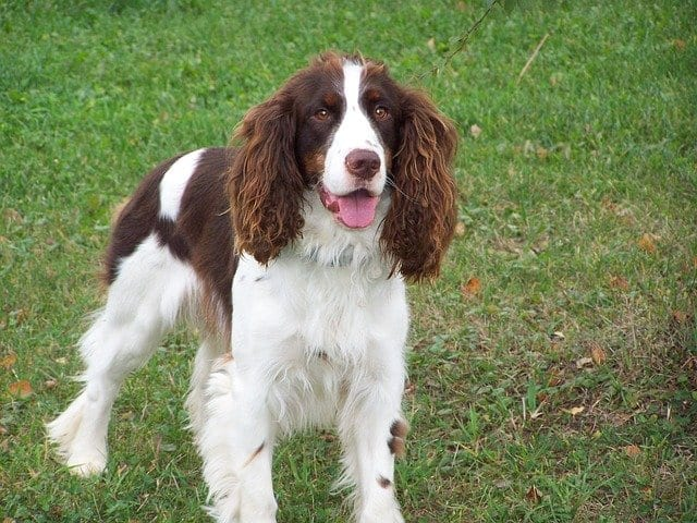trainable dog breed