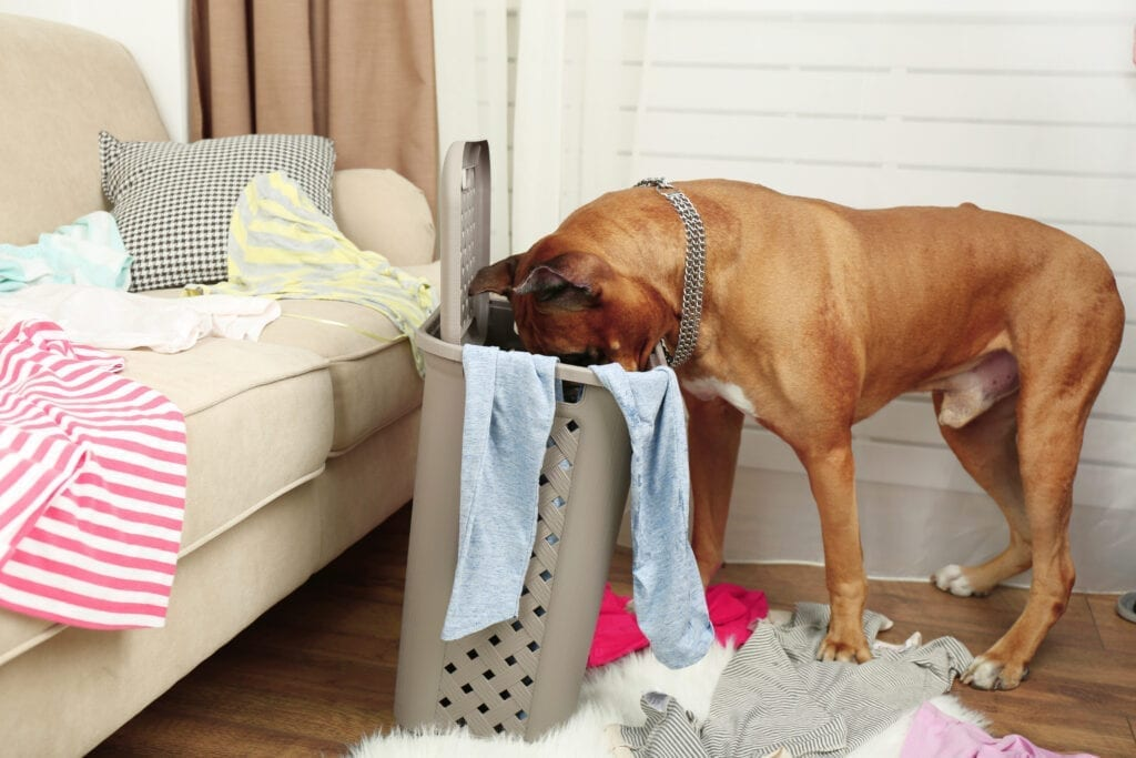 why do dogs steal dirty laundry