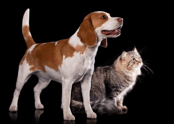 cat and beagle