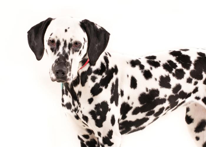 dog coat facts