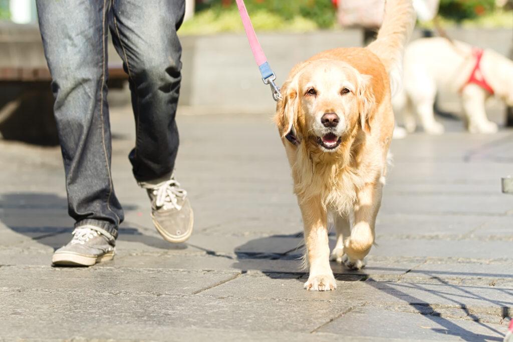 man walking golden retriever