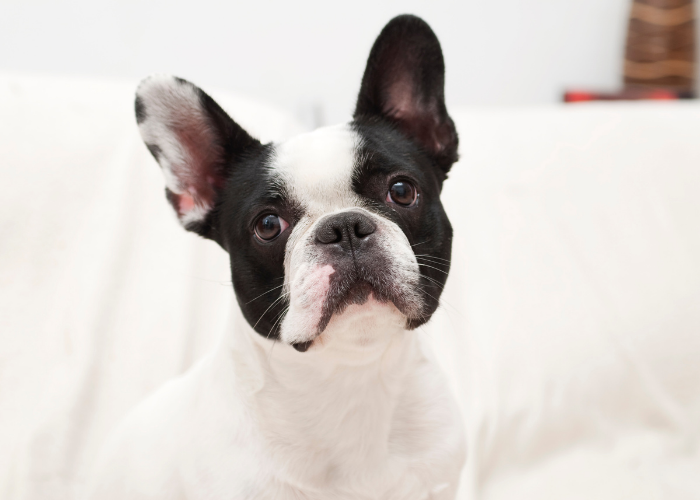 facts about the French Bulldog