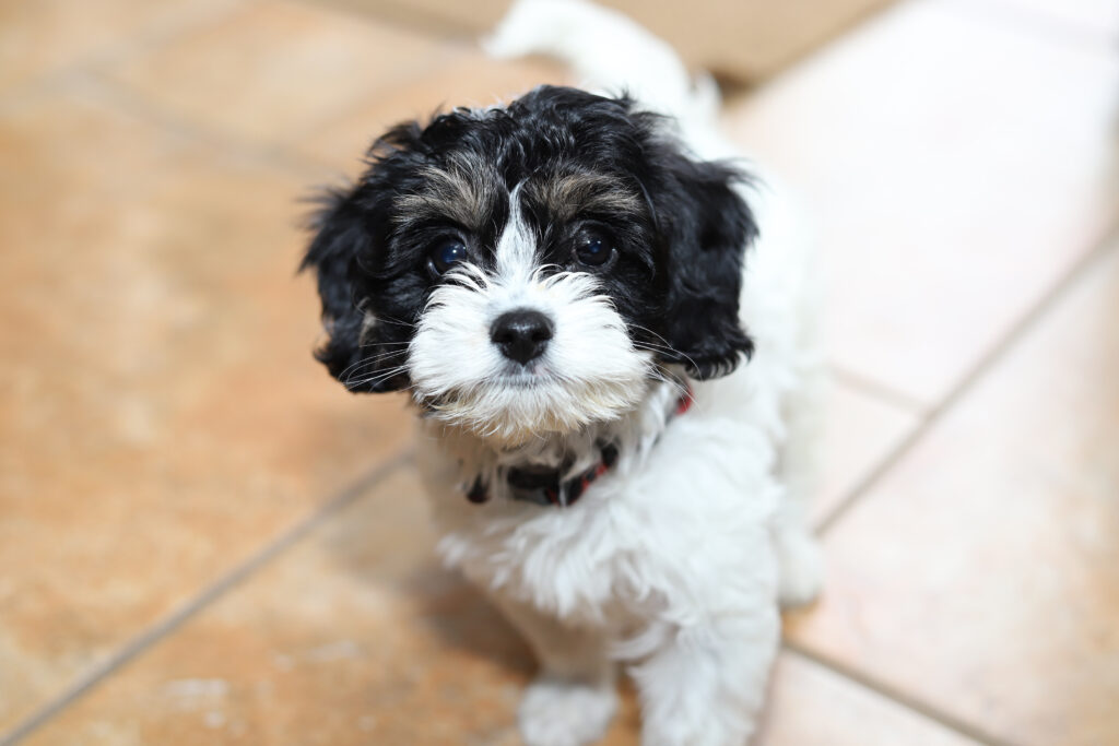 Cavadoodle dog breed facts