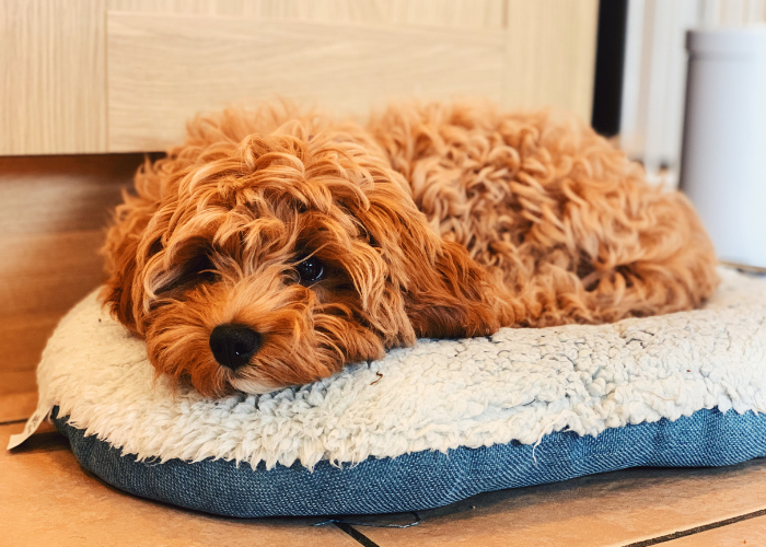 Cavadoodle dog facts