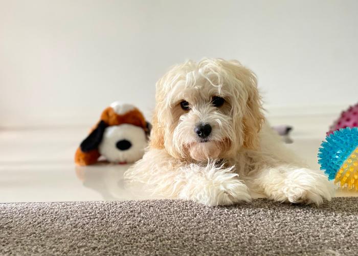 Cavapoo dog breed