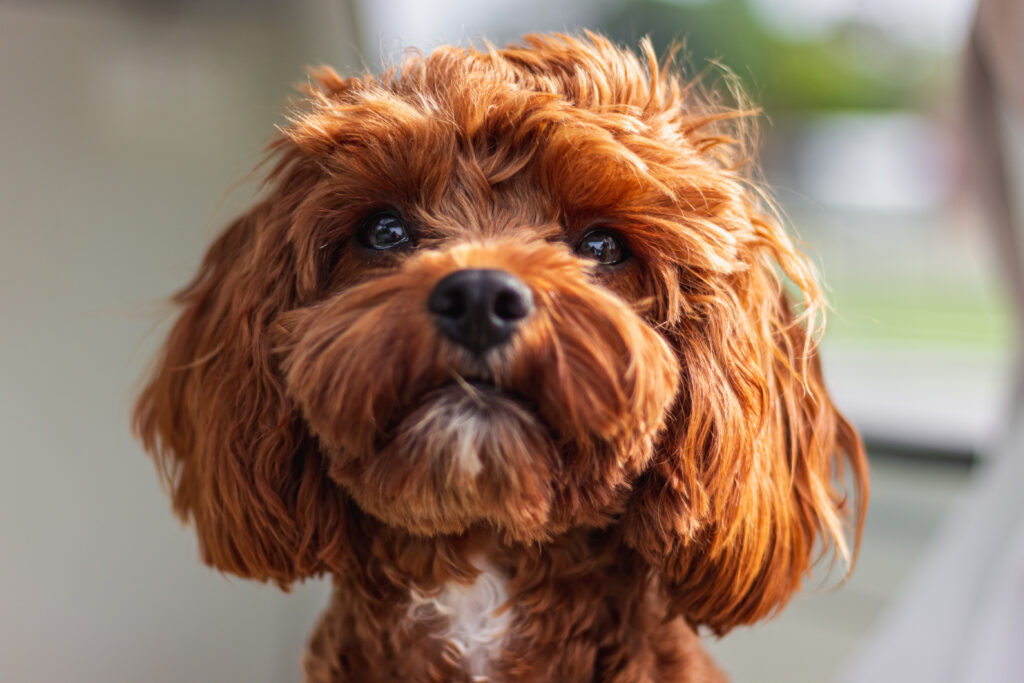 Cavoodle dog breed