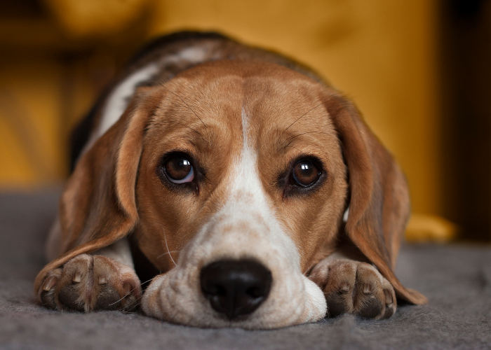 cute beagle sad