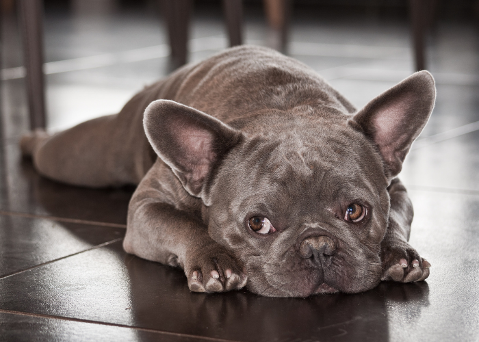 all about the French Bulldog