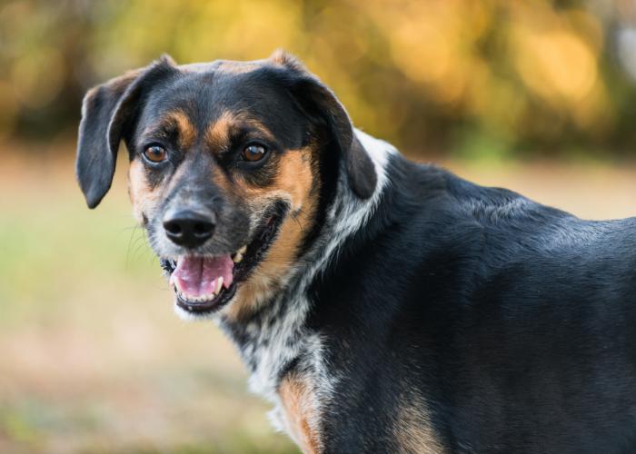 happy beagle mix