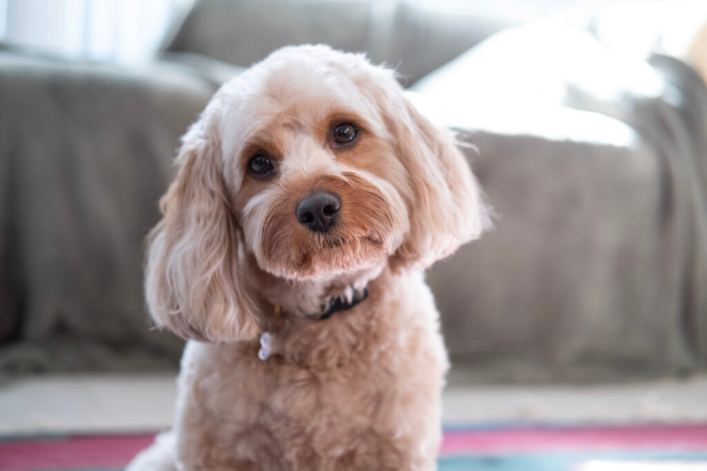 facts about the Cavadoodle