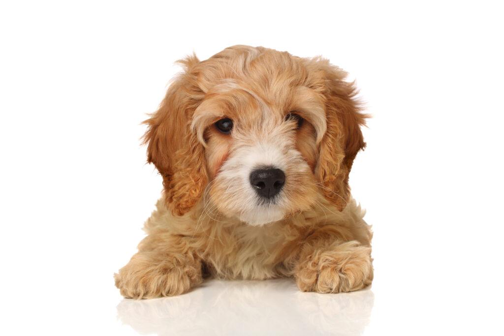 cavadoodle puppies