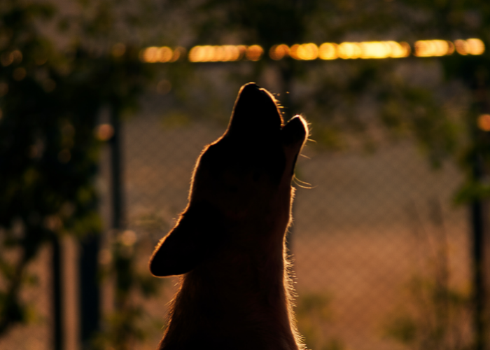 why do dogs howl at night?