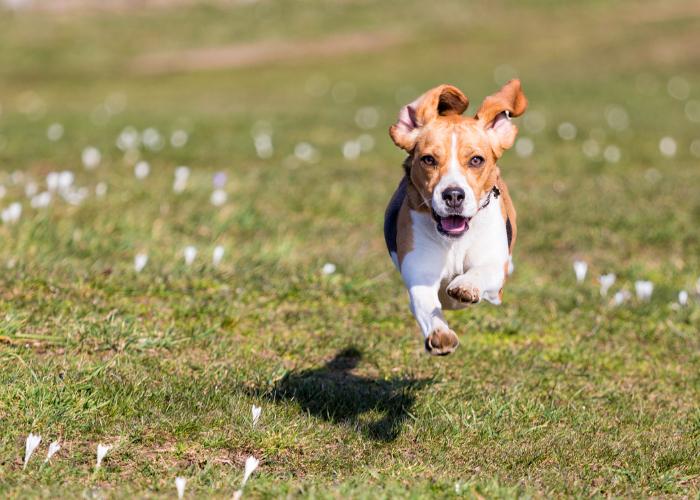 how fast can a Beagle run?