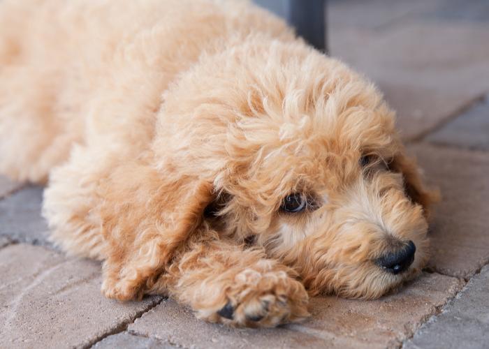 beige Labradoodle puppy
