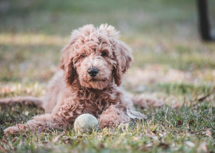 goldendoodle dog facts