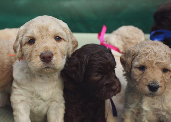 cute labradoodle puppies