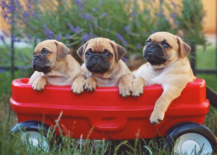 pug dog breed facts