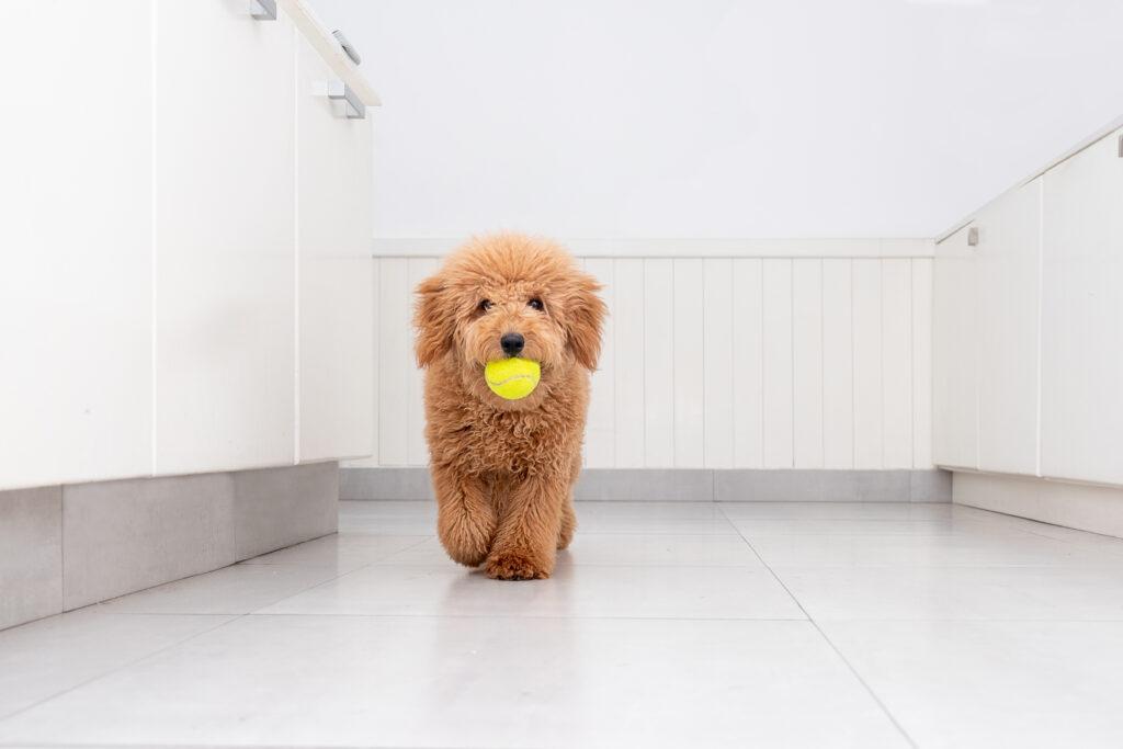 Mini Goldendoodle size